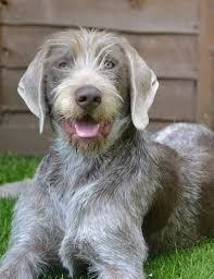 Slovak wire-haired pointer